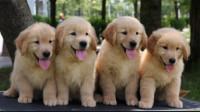 盘点最受欢迎的狗狗品种,除了金毛,这些狗狗有没有走进你心里?