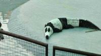 """泰国:既然中国人不肯借熊猫,那我们就开动脑筋""""自己造""""!"""