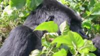 侣行:原来猩猩的交配如此的混乱,真是涨知识了
