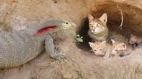 科莫多巨蜥袭击猫窝,下一秒剧情神反转,镜头拍下全过程!