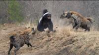 平头哥遭野狗围攻,丝毫不畏惧,实力一打三