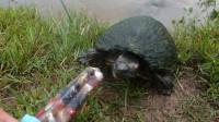 男子给乌龟吃冰棍,一口咬下去后,下一秒千万憋住别笑
