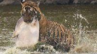 伦滕波尔保护区一只老虎在吃王八
