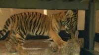 饲养员想激发小老虎的兽性,扔几只兔子进去,网友:场景不忍直视