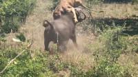 狮子正在午睡,谁知野牛突然发动攻击,一顿操作猛如虎!