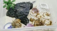 """118元网购""""寄居蟹宠物"""",螃蟹也能当宠物养,为什么躲在海螺里"""