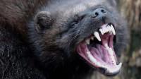 平头哥的大哥,号称战斗疯子,敢与老虎和野狼斗!