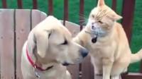 猫咪暴打狗狗,不料狗狗的一个动作,让主人差点笑喷了!