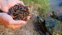 国外小伙给乌龟喂蟋蟀,你猜乌龟喜欢吃吗?一起来了解下!