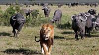 群牛围攻狮子,狮子只做1件事就吓退了野牛,镜头拍下整个过程!