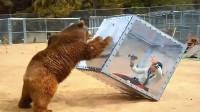 为近距离拍摄大棕熊,女子把自己关在玻璃箱中,镜头记录惊险一幕
