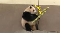 熊猫正在吃东西,忽然被旁边的大竹子砸到,这反应太戏精了