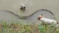 两只狗子下河游泳,竟被一条超大的水蛇偷袭,镜头拍下惊险全过程