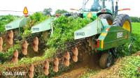 收获花生还用叉挖?看看国外机械化收获花生,一天6亩地!