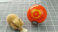 主人把小仓鼠装进神奇宝贝球里面,小仓鼠表现太可爱了