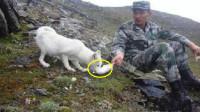哨兵巡逻救了一只白狐,白狐从此立志报恩,吃饭巡逻形影不离