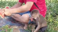 当最喜欢水果的猴子遇到西瓜,场面一时难以控制
