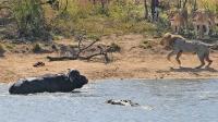 水牛被前后夹击,满满的求生欲,水牛:看来牛死里逃生!