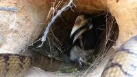 黑蛇溜进鸟窝企图偷蛋,犀鸟妈妈被激怒,与蛇殊死搏斗!