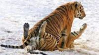 老虎舌头上倒刺很厉害? 没想到下身的倒刺更可怕, 连母老虎都怕