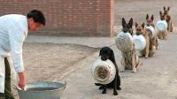 狗狗排队吃饭,主人叫一只出来一只,没想到最后一只竟然不乐意了