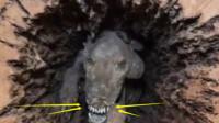 73岁老汉山林砍树,发现一被困50年的狗,专家吓得跪地不起!