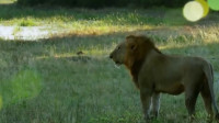 狮子下水游泳,没想到水下竟然藏了个这玩意,下一秒惨案发生了