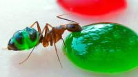 老外找来彩色果汁,吃货蚂蚁不注意,将自己喝变色了!