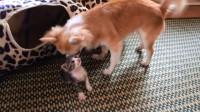 小乳猫寻找亲情一次次被拒,最后被狗狗收留,太有爱了