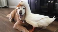 1只鸭子和狗子彻底好上了,走一步跟一步,让人好羡慕!