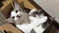 看到家里突然来了陌生客人后,慌张猫咪上演加强版躲猫猫