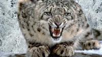 最美丽猫科动物,我国一级保护动物,为何动物园很难见到?