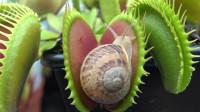 一只可怜的蜗牛,不小心爬到了捕蝇草的陷阱上,让人意外的画面出现了