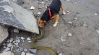 """狗狗遇到終極""""電鰻"""",想嘗啥味道上前咬一口,下一秒可就悲劇了"""
