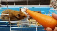 小仓鼠化身小白兔一样吃胡萝卜,吃不了还兜着走,好可爱