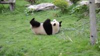 """熊猫一本正经""""舞枪弄棒""""走红 炉火纯青网友看呆:真·功夫熊猫"""