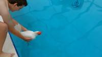 鸡会游泳吗?老外突发奇想将爱鸡扔进泳池,鸡:这是人干的事?
