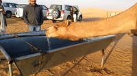 渴了几周的骆驼,看见水就猛灌120公斤,网友:大自然的搬运工?