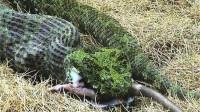 """世界上最大的毒蛇, 重达40斤破毒蛇纪录,被称为""""蛇中熊猫"""""""