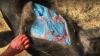 小伙抓到一头800斤野猪,不料剖开肚子一看,吓得立马拔腿就跑!