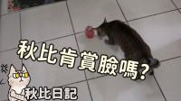 猫玩具不倒翁-秋比会喜欢秋风挑的玩具吗 秋比日记(62)