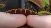 捕蝇草对手指有伤害吗?老外将手指放进去一天,拿出来后才知后悔