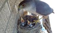 小鸟以为妈妈回来喂食,期待的张开嘴,没想到却是悲剧的开端