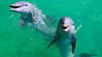 为什么鲨鱼从来都不吃海豚?其实并不是不想,而是有原因的!