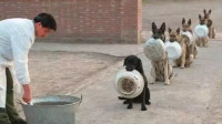 狗狗排队吃饭,没想到最后一只竟然不乐意了,镜头拍下搞笑一幕