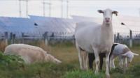 困扰世界各国的发电站难题,中国放了几千只羊,就给解决了!