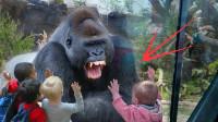 小女孩故意挑衅大猩猩,猩猩一拳锤碎玻璃,现场顿时失控!