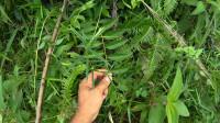 这种植物,很像白花蛇舌草,也有类似的功能用途,见过吗?