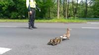 这群鸭子过马路好有范,短短二百米,还需要交警在前方开道