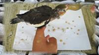 30倍慢动作,终于看清玄凤鹦鹉吃食,狼吞虎咽的样子